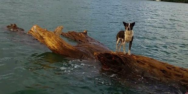 "perierga.gr - Σκύλος ""ναυαγός"" σώθηκε επιπλέοντας πάνω σε κορμό δέντρου!"