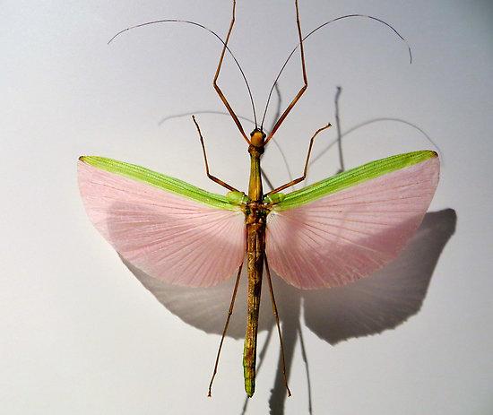 perierga.gr - Η εντυπωσιακή «ροζ χορεύτρια» των αγρών!