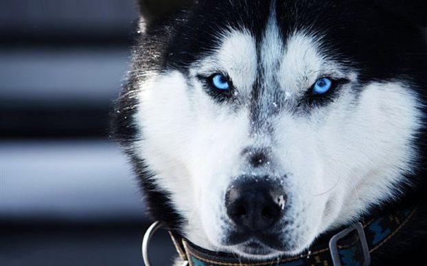 perierga.gr - Οι σκύλοι «μιλούν» με τα μάτια!