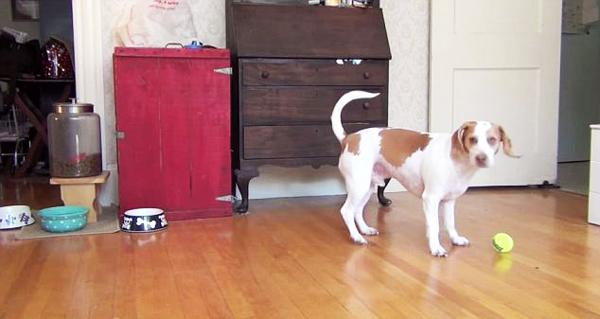 perierga.gr - Η απίστευτη αντίδραση ενός σκύλου που πήρε 100 μπαλάκια δώρο γενεθλίων!