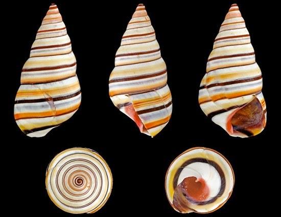 perierga.gr - 11 εντυπωσιακά σαλιγκάρια