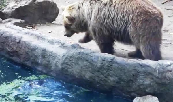 perierga.gr - Αρκούδα σώζει κοράκι από πνιγμό σε ζωολογικό κήπο!