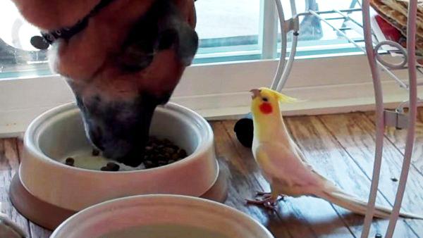 perierga.gr - Παπαγαλάκι τραγουδά στον σκύλο… όσο τρώει! (βίντεο)