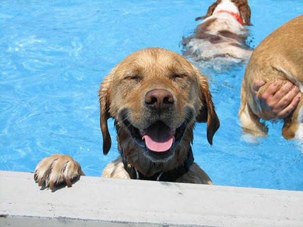 perierga.gr - Σκυλιά απολαμβάνουν βουτιές σε πισίνα! (βίντεο)