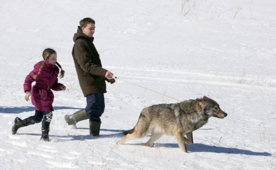 perierga.gr - Οικογένεια έχει λύκους για… κατοικίδια!
