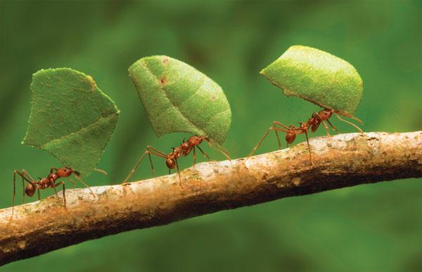 perierga.gr - Άψογη συνεργασία μυρμηγκιών στη μεταφορά τροφής! (βίντεο)