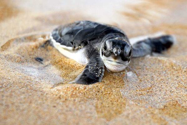 perierga.gr - 150 χελωνάκια αφήνονται στον ωκεανό!