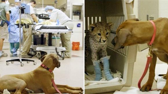 perierga.gr - Σκύλος φροντίζει ένα άρρωστο τσιτάχ! (βίντεο)