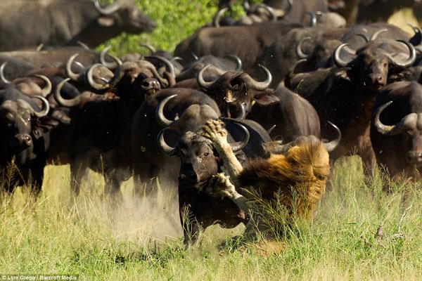 Perierga.gr - Κοπάδι βουβαλιών επιτίθεται σε λιοντάρι