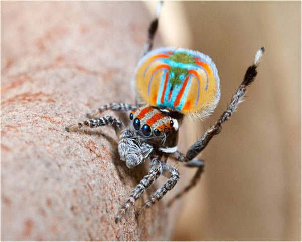 perierga.gr - Aσυνήθιστη αυστραλιανή αράχνη-κόσμημα!