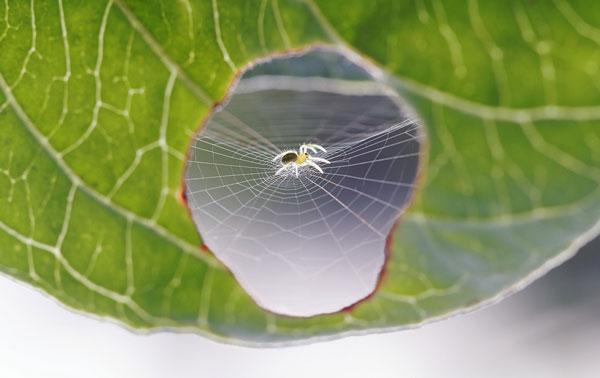 perierga.gr - Αράχνη επιδιορθώνει ένα φύλλο!
