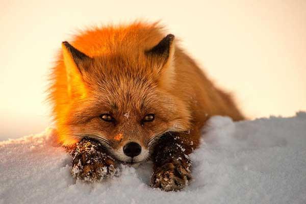 perierga.gr - Φωτογραφίζοντας αλεπούδες στον Αρκτικό Κύκλο!