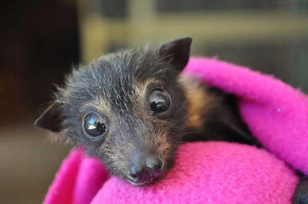 perierga.gr - Νοσοκομείο για νυχτερίδες στην Αυστραλία