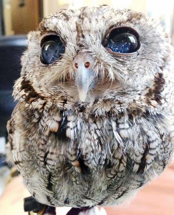 """perierga.gr - Τυφλή κουκουβάγια έχει """"αστέρια"""" στα μάτια της!"""