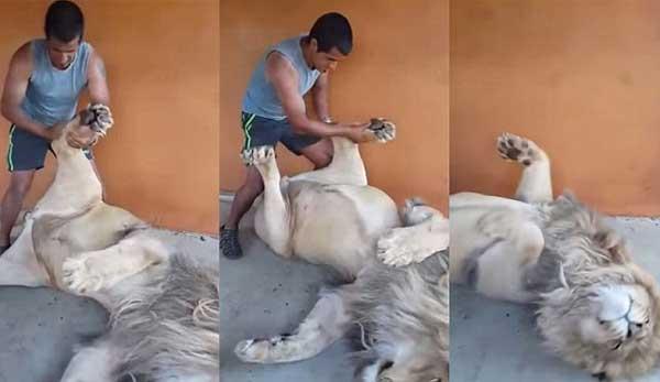 perierga.gr - Κάνοντας μασάζ σε ένα... λιοντάρι!
