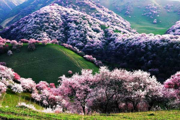 perierga.gr - Η απίστευτης ομορφιάς κοιλάδα με της βερικοκιές στην Κίνα