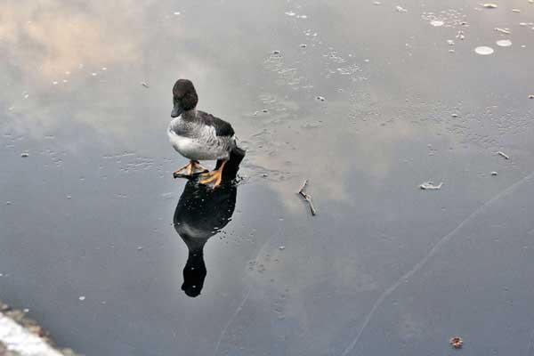 perierga.gr - Βούτηξε στην παγωμένη λίμνη για να σώσει την πάπια!