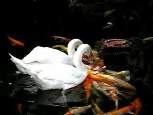 perierga.gr - Κύκνοι ταΐζουν τα ψάρια της λίμνης!