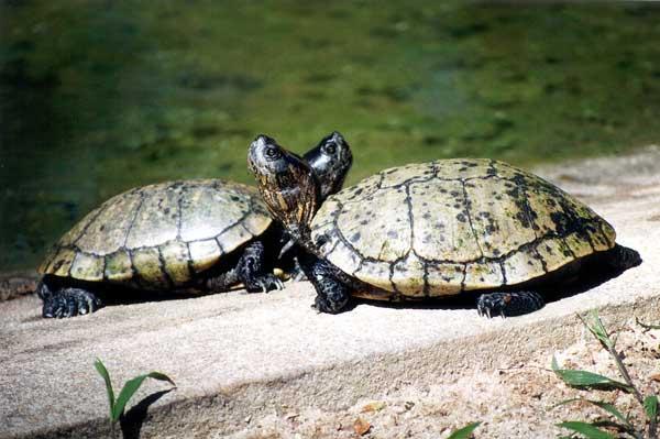 perierga.gr - Χελώνα βοηθά τη φίλη της να... αναποδογυρίσει!