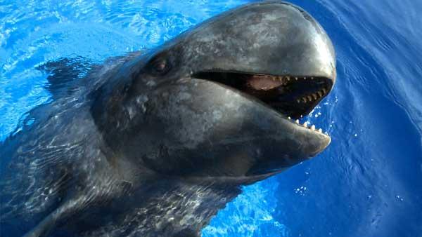 perierga.gr - Οι φάλαινες τραγουδούν για να βρουν τροφή!