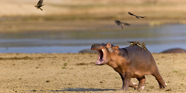 perierga.gr - Ιπποπόταμος... φοβάται ένα σμήνος πουλιών!