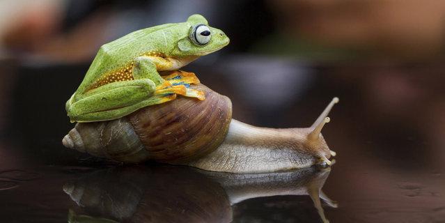 perierga.gr- Βάτραχος αναβάτης... ιππεύει σαλιγκάρι!