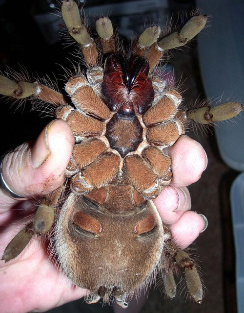 perierga.gr - Η μεγαλύτερη αράχνη στον κόσμο!