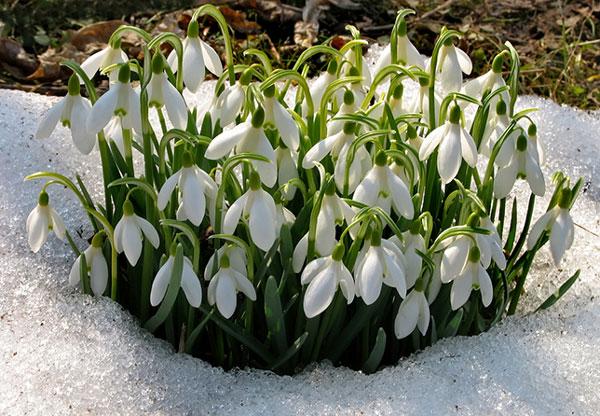 perierga.gr - Πανέμορφα αγριολούλουδα στο χιόνι!