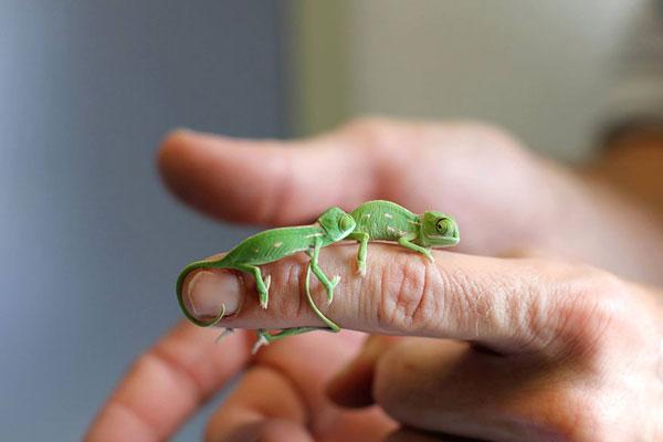 perierga.gr - 20 μωρά χαμαιλέοντες γεννήθηκαν σε ζωολογικό κήπο!