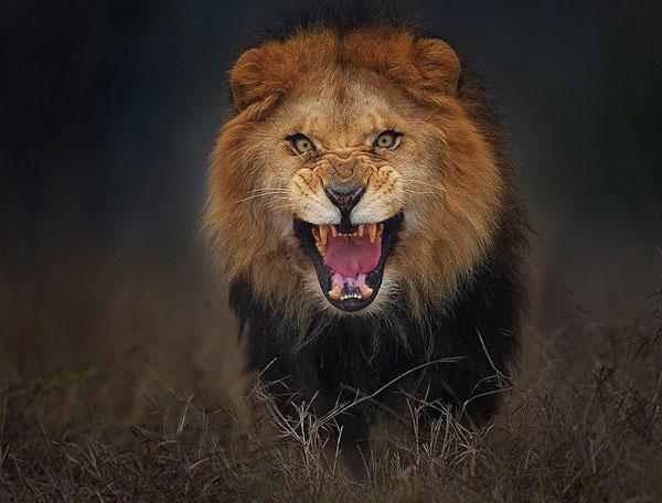 perierga.gr - Αγριεμένο λιοντάρι στο φακό του φωτογράφου!