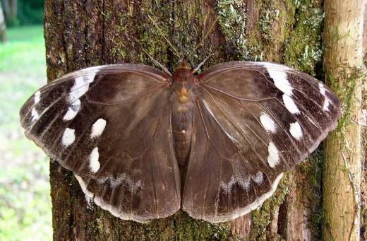 perierga.gr - Πεταλούδα μεταμορφώνεται και μιμείται το κεφάλι οχιάς!