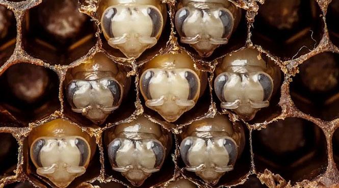 perierga.gr - Οι 21 πρώτες μέρες ζωής μιας μέλισσας!