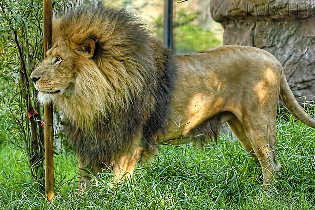 perierga.gr - Λιοντάρι πατάει στο έδαφος μετά από 13 χρόνια σε κλουβί!