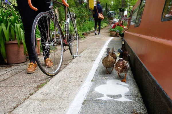 perierga.gr - Οι πάπιες στη Βρετανία έχουν τη δική τους λωρίδα για περπάτημα!