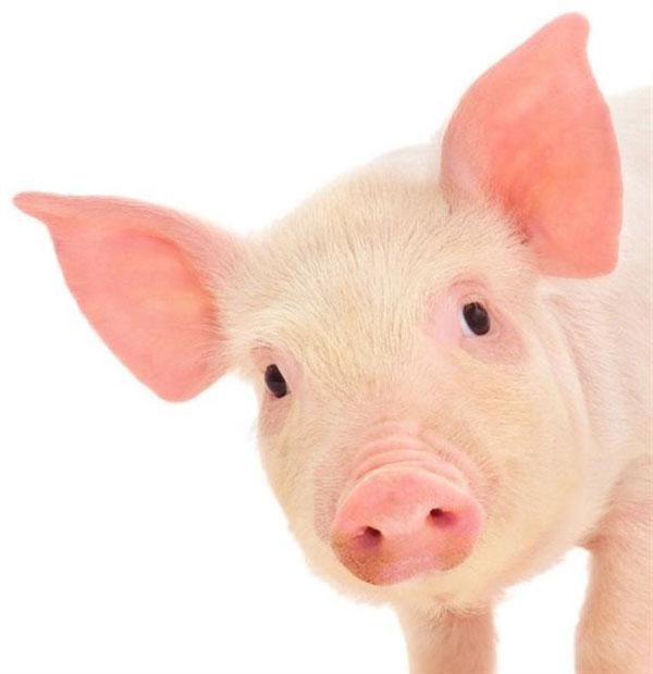 perierga.gr - Εξυπνότερα τα γουρούνια από τους σκύλους!