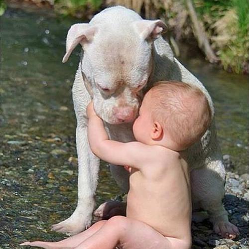perierga.gr - Τα πίτμπουλ είναι πολύ τρυφερά με τα μωρά!