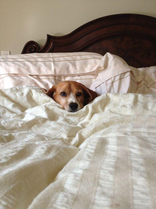 perierga.gr - Σκυλιά... κλέβουν τα κρεβάτια των αφεντικών τους!