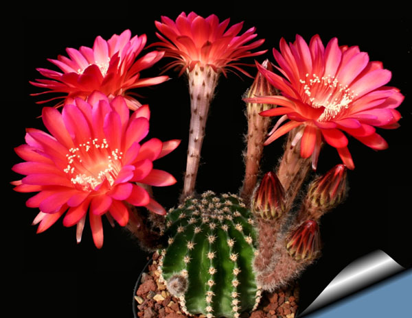 perierga.gr - Τα υπέροχα λουλούδια των κάκτων ανθίζουν σε ένα βίντεο!