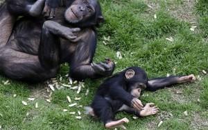 perierga.gr - Χιμπατζήδες-πειραματόζωα βλέπουν το φως του ήλιου για πρώτη φορά!