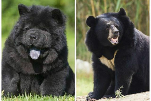 perierga.gr - Χρειάστηκε δύο χρόνια για να καταλάβει ότι τα σκυλιά του ήταν... αρκούδες!