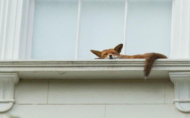perierga.gr - Αλεπού κοιμάται σε περβάζι στο... Λονδίνο!