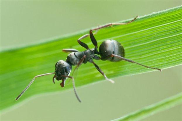 perierga.gr - Μυρμήγκια πίνουν οξυζενέ για να απαλλαγούν από μυκητιάσεις!