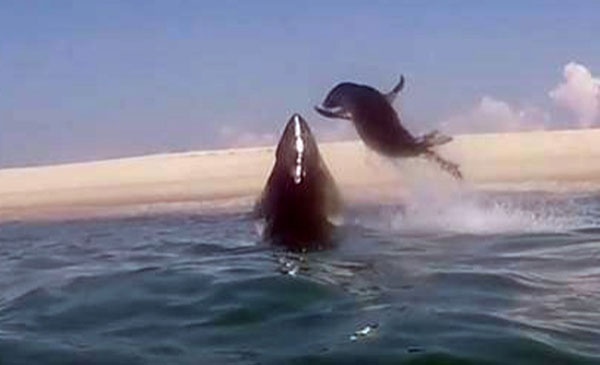Perierga.gr - Φώκια δραπετεύει από τα σαγόνια καρχαρία