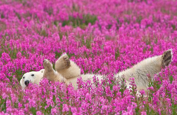 perierga.gr - Πολικές αρκούδες παίζουν στα λιβάδια!