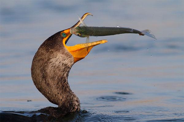 perierga.gr - Πτηνά ψαρεύουν στον αέρα!