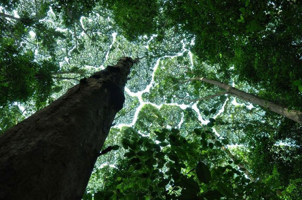perierga.gr - Παράξενο φαινόμενο σε κορυφές δέντρων!