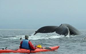 perierga.gr - Φάλαινα 40 τόνων προσγειώθηκε σε κανό!