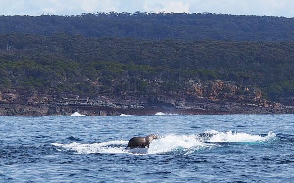 perierga.gr - Φώκια... σερφάρει πάνω στην πλάτη φάλαινας!