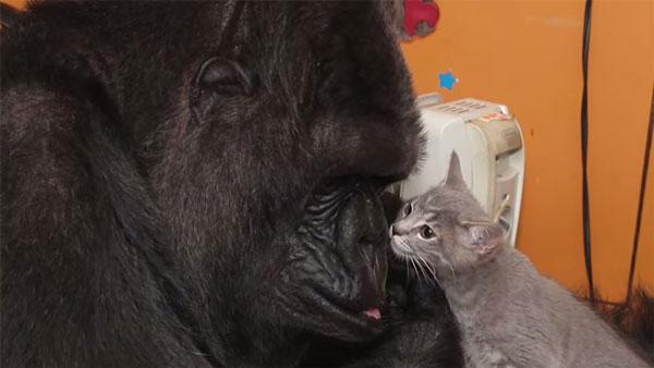 perierga.gr - Δώρο γενεθλίων... γατάκια για έναν γορίλα!