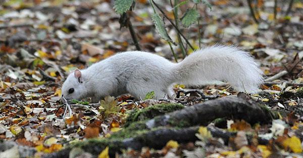 perierga.gr - Σπάνιος λευκός σκίουρος στην Βρετανία